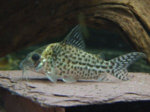 Corydoras agassizii photo by FF MkII