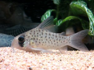 Corydoras atropersonatus photo by Kampfer