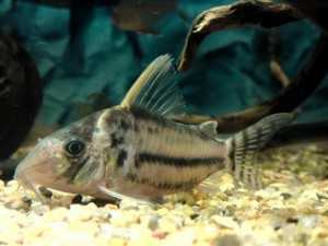 Corydoras pulcher photo by Kampfer