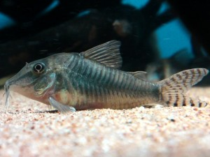 Corydoras simulatus Photo by Kampfer