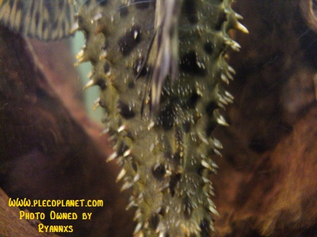Name:  Squaliforma Emarginata.jpg Views: 1455 Size:  27.8 KB