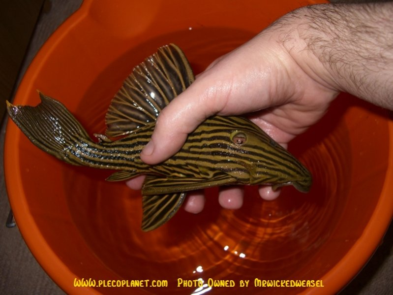 Click image for larger version  Name:260fry6weeks.jpg Views:535 Size:73.5 KB ID:1205