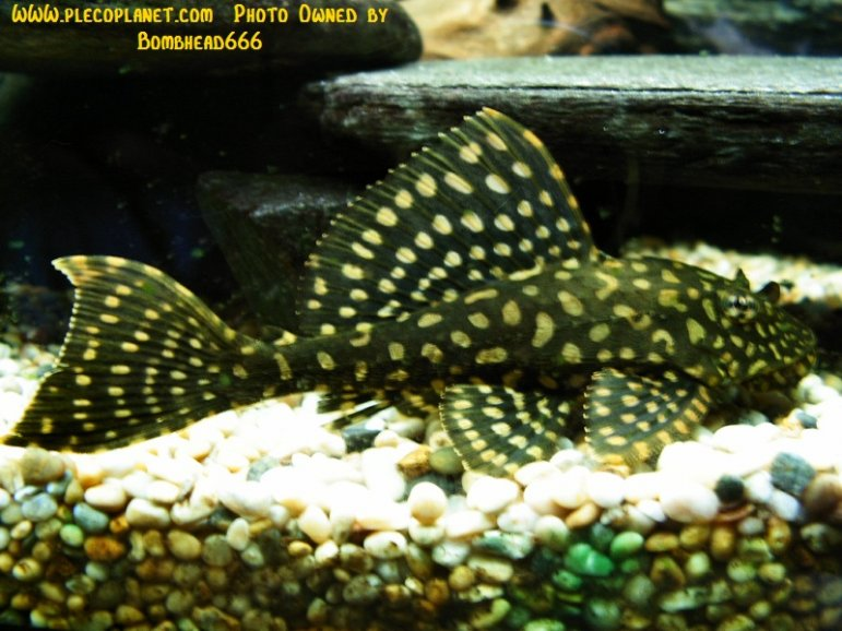 Name:  Glyptoperichthys gibbiceps.jpg