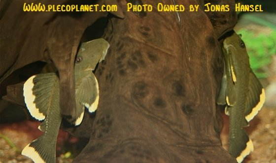 Name:  juvenileL134.jpg Views: 1594 Size:  39.1 KB