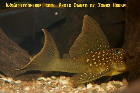Name:  juvenileL134.jpg Views: 3495 Size:  39.1 KB