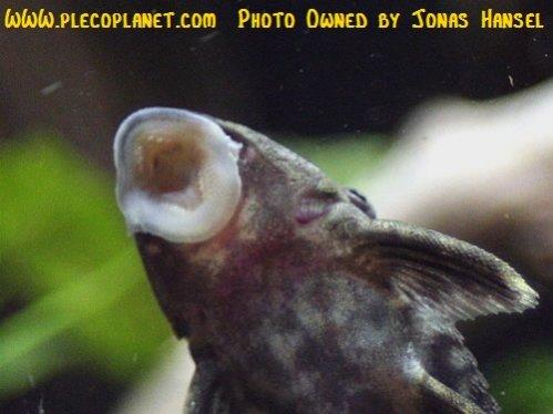 Name:  1_hypancistrus-furunculus-6.jpg Views: 2969 Size:  48.2 KB