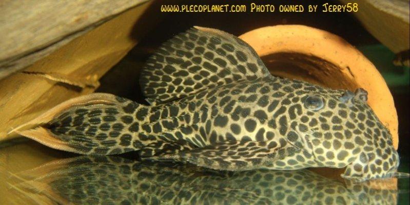 Name:  panaqolus_maccus_16.jpg Views: 1664 Size:  39.2 KB