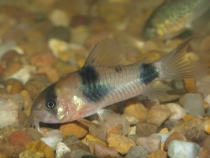 Corydoras suessi photo by Gem400