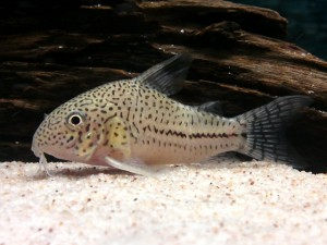 Spotted Corydoras trilineatus photo by Kampfer
