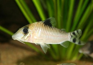 Corydoras condiscipulus photo by Mona Opland