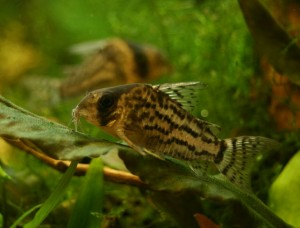 Corydoras schwartzi photo by Johnny70